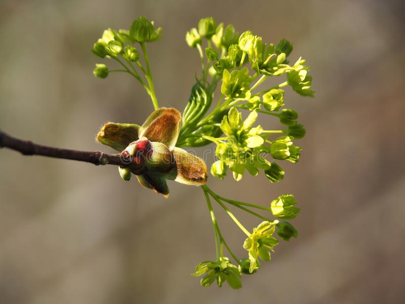 Maple flowers blossom in spring. Spring is the time of awakening of nature, the sun shines brightly in the blue sky, leaves bloom on the trees.nIn early spring royalty free stock photos