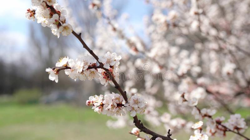 Spring time background. Cherry Blossom trees, Pink Sakura flowers stock image