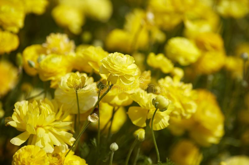Spring time. Close up view of Ranunculus flowers in a field aka buttercup flower, blooms in vibrant warm yellow color. Close up view of Ranunculus flowers in a stock images