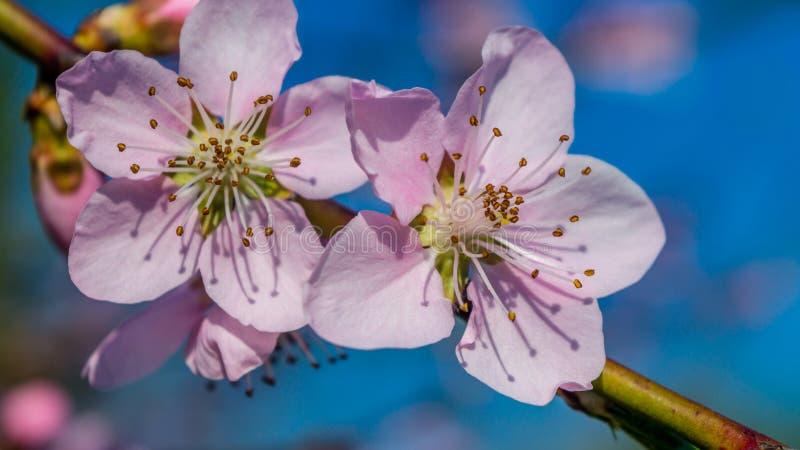 Pink macro of peach flowers stock photos