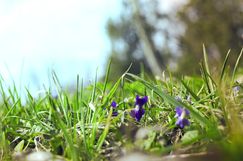 Spring time with Violets. Blur image stock images