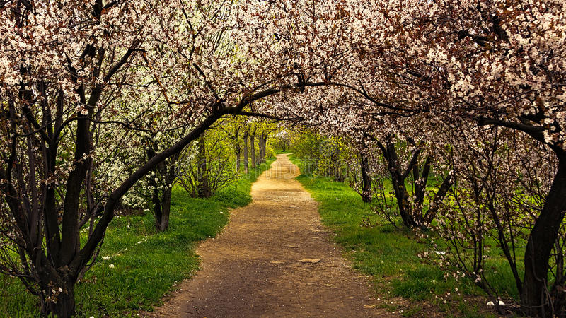 Spring Trail. The footpath throw blossoms at spring 2014 stock images