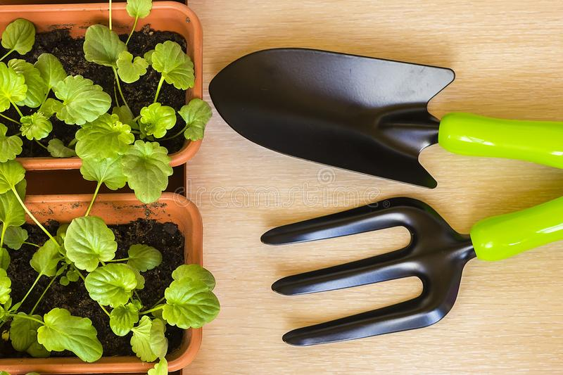 Spring training of young plants for the summer period. Caring for seedlings in the spring and preparation for transplantation stock photo