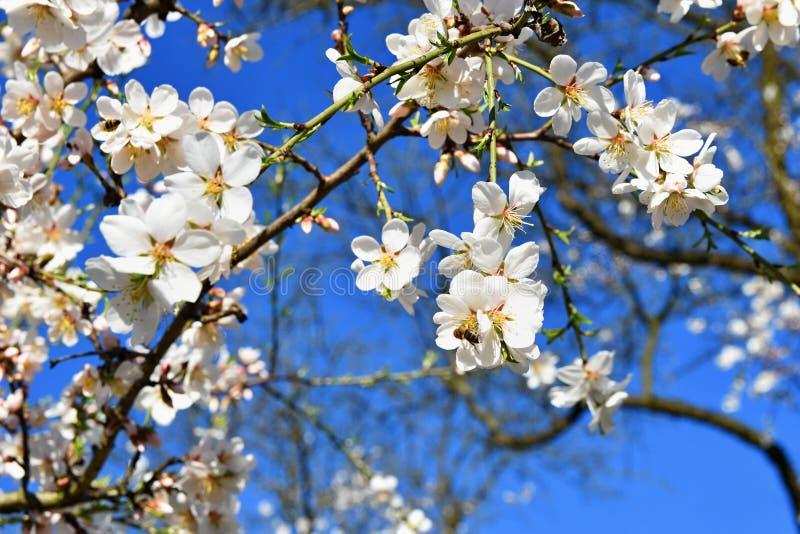 Spring tree. Beautiful flowering almond. stock photo