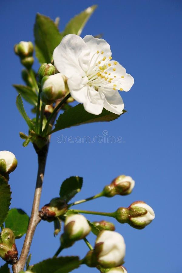 Spring tree blossom flower stock image