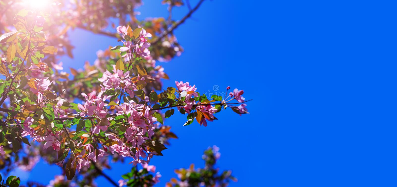 Spring tree blossom flowers with pink and red petals on background of blue sky. Blossom blooming on tree in springtime. Apple tree royalty free stock photography