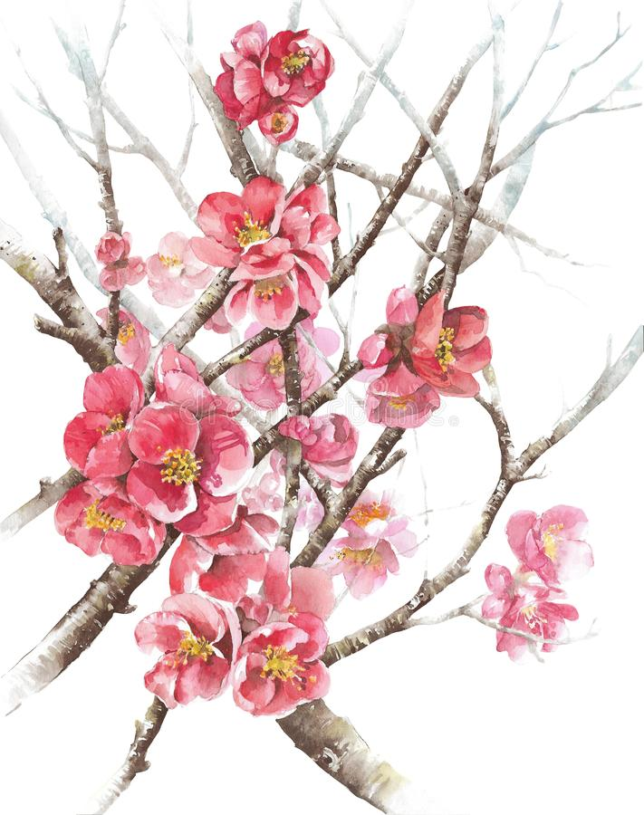 Spring tree blossom quince blooming watercolor painting illustration isolated on white background. Spring tree blossom quince blooming watercolor painting royalty free illustration