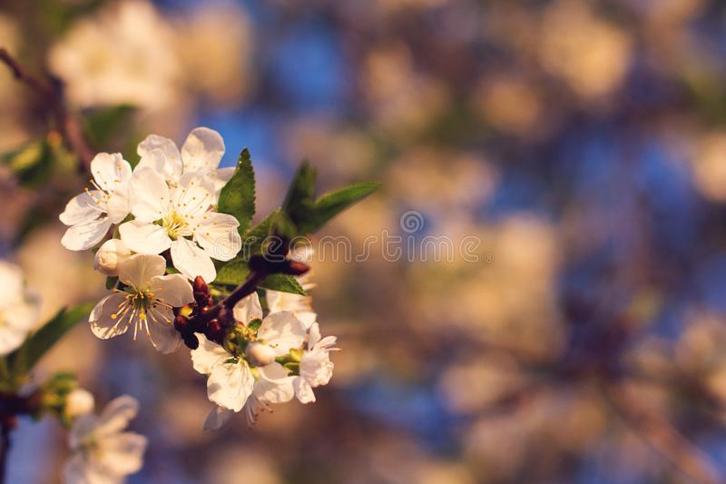 Spring tree blossoming. Cherry tree branch in spring blossom close-up. Flowers blooming at sunset. Copy space. Spring card. Tender royalty free stock photography
