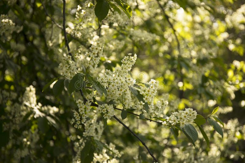 Spring tree branch with blossoming flowers in a garden royalty free stock photos