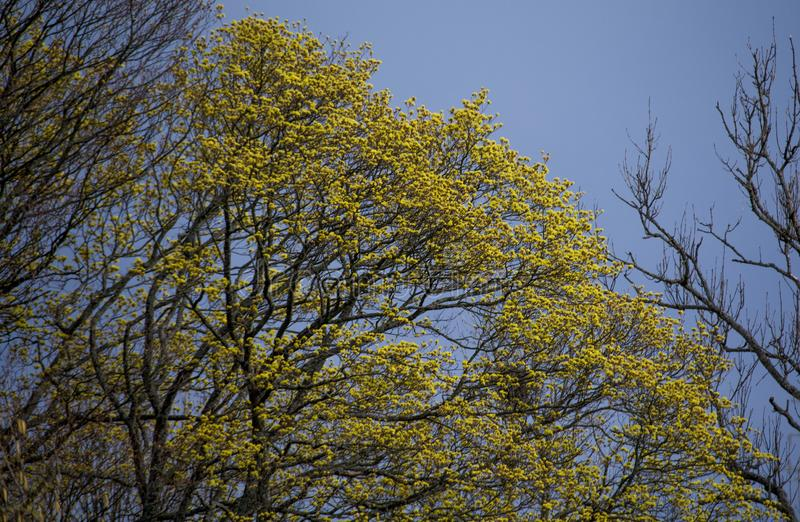 Tree crowns. Spring tree crowns with yellow flowers in Bieszczady, Poland royalty free stock photos