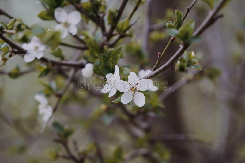 Spring tree flowering. White blooming tree. Slovakia. Spring tree flowering white blooming cherry and apple trees. Slovakia stock images