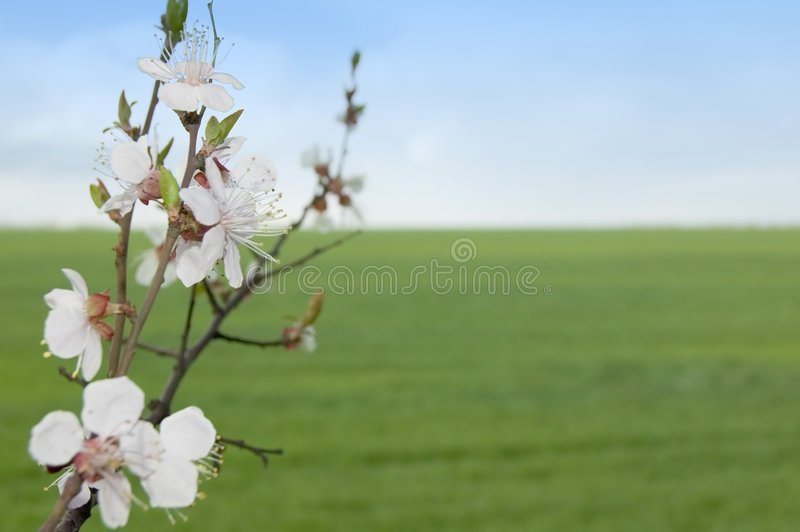 Download Spring Tree With Flowers Against Meadow Stock Image - Image: 4932539