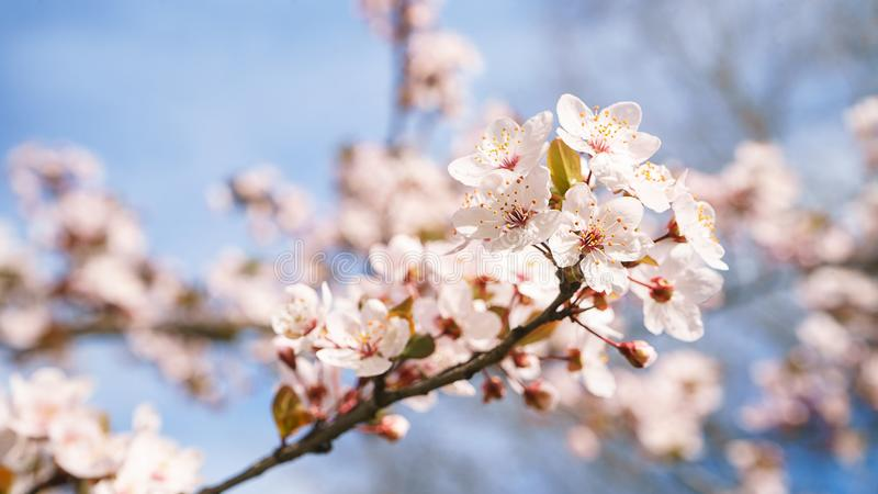 Spring apple tree flowers in blossom, the bloom in warm sun light on blue sky background. stock images