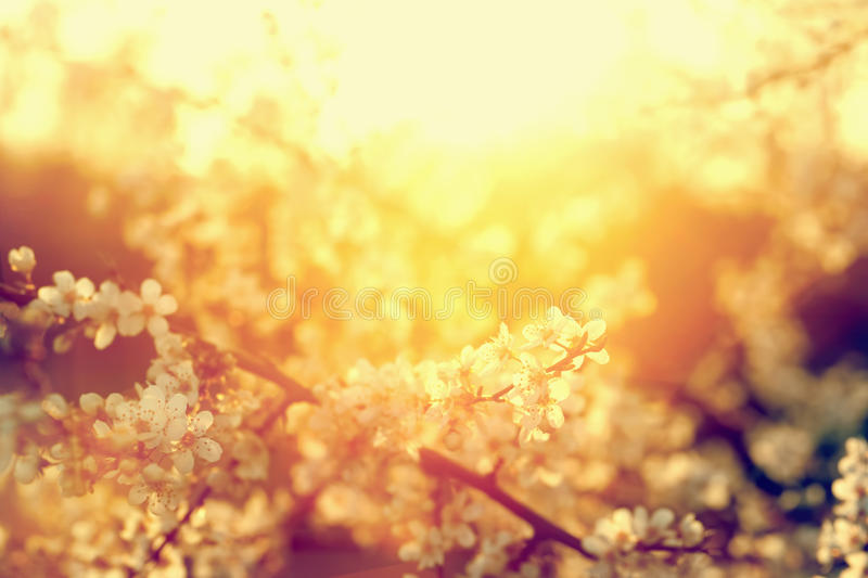 Spring tree flowers blossom, bloom in warm sun. Vintage stock images