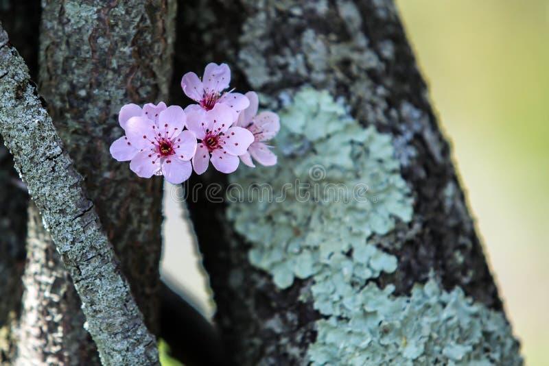 Spring tree flowers royalty free stock image