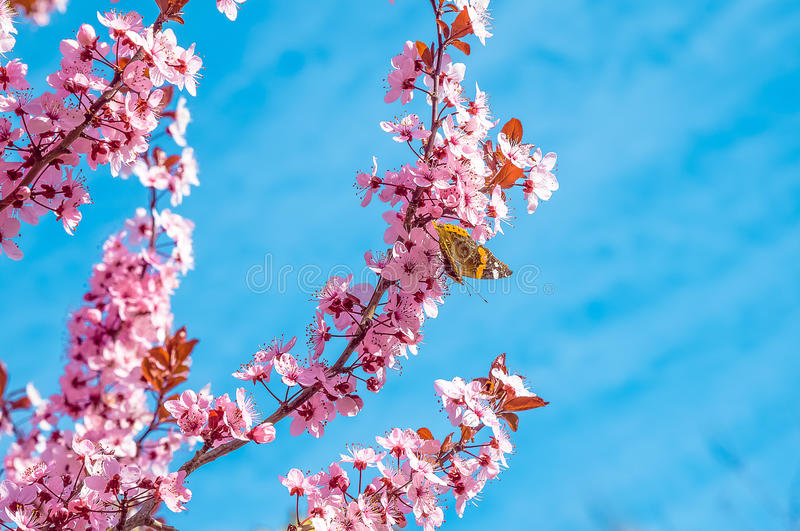 Spring tree with pink flowers almond blossom with butterfly on a branch on green background, on blue sky with daily light royalty free stock photography