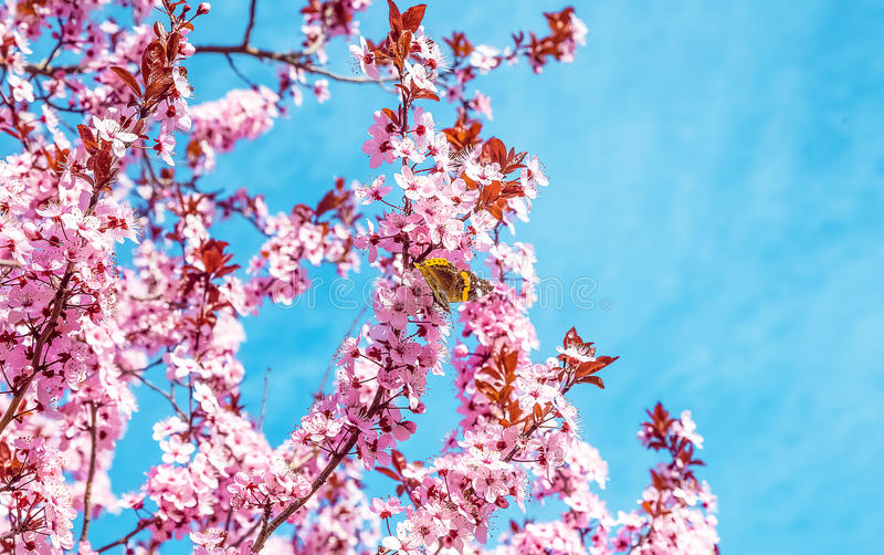 Spring tree with pink flowers almond blossom with butterfly on a branch on green background, on blue sky with daily light. Spring tree with pink flowers almond stock images