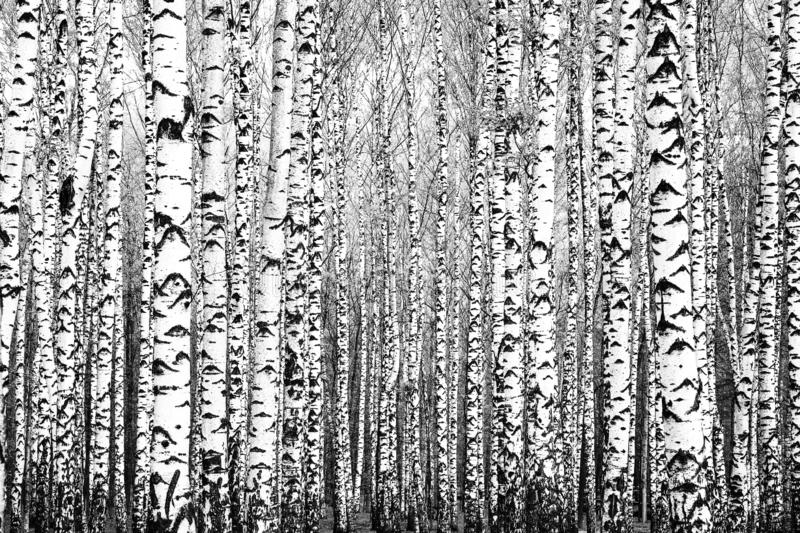 Spring trunks of birch trees black and white stock image