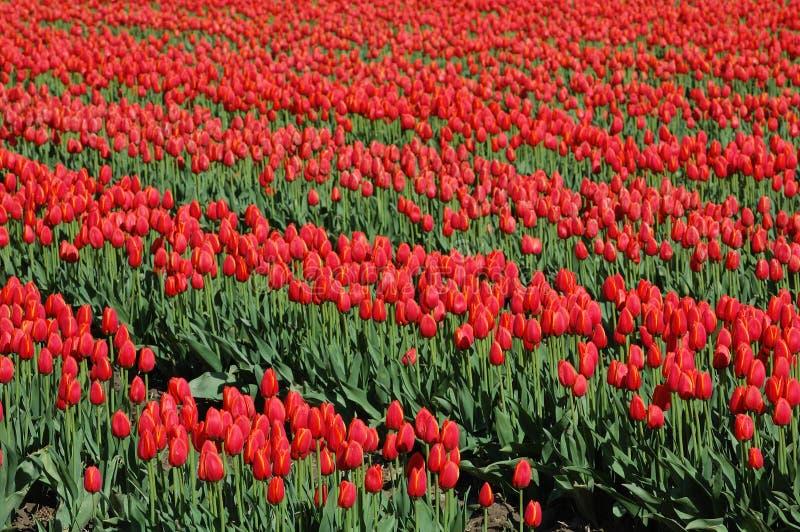 Spring tulip stock photos