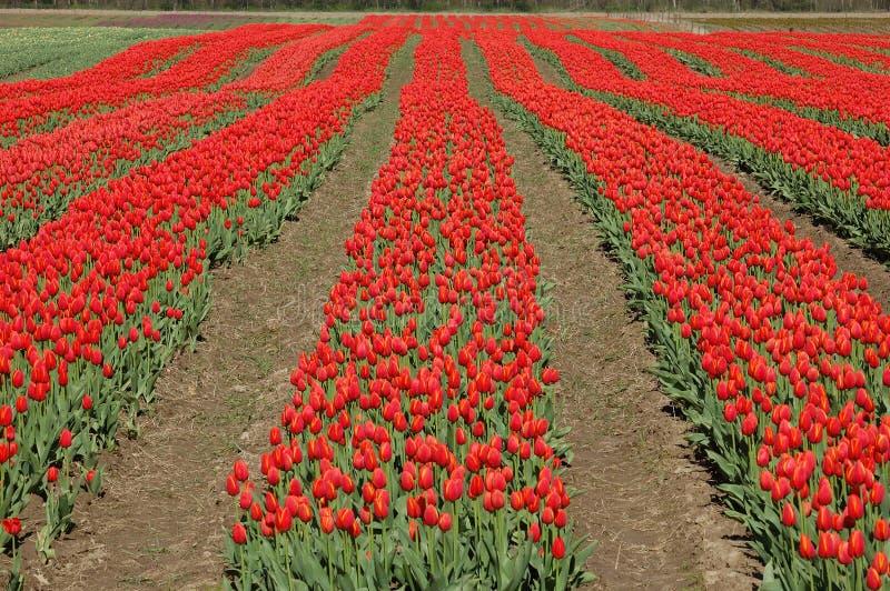 Spring tulip stock images