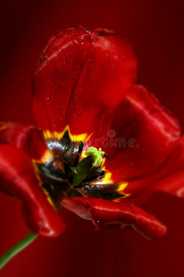Download Spring tulip stock photo. Image of floral, yellow, tulip - 5195496