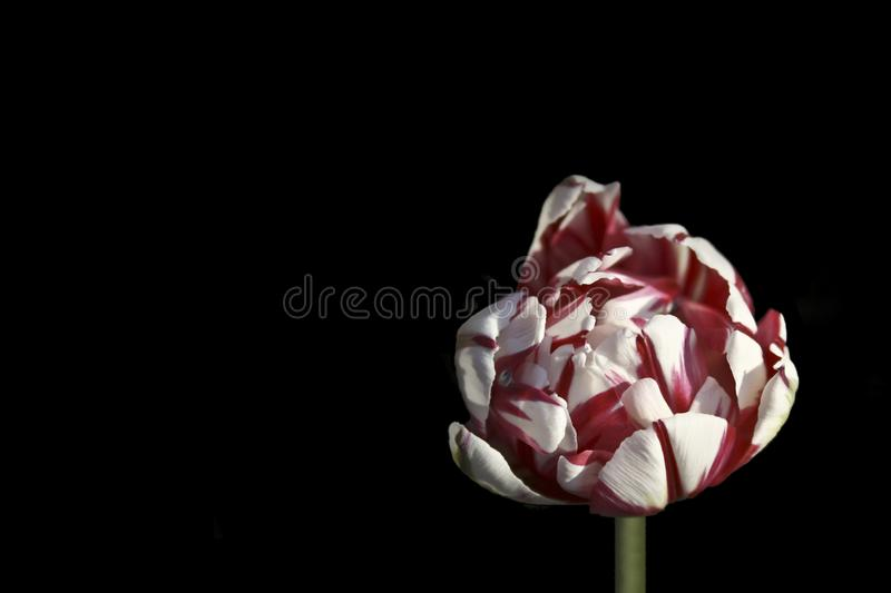 Spring tulip flower on a dark background royalty free stock photography