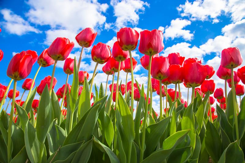 Spring tulip flower field. Red bright tulips royalty free stock photos