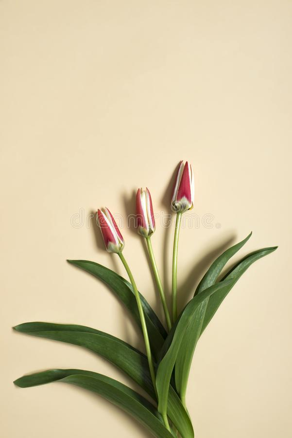 Spring tulip flowers on beige background. Top view composition. Pastel colors stock photography
