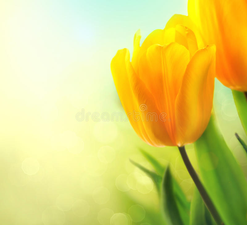 Spring tulip flowers growing royalty free stock photo