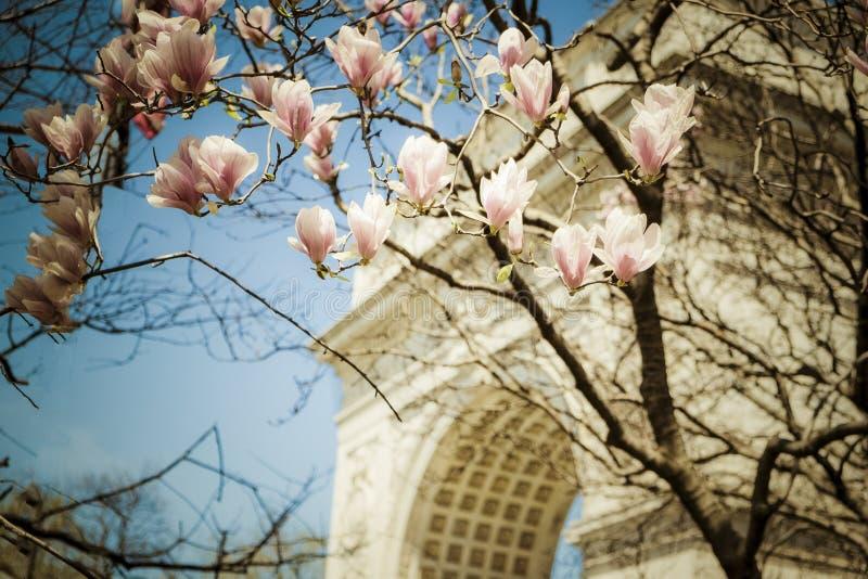 Spring tulip trees, Washington square park, New York City stock photos
