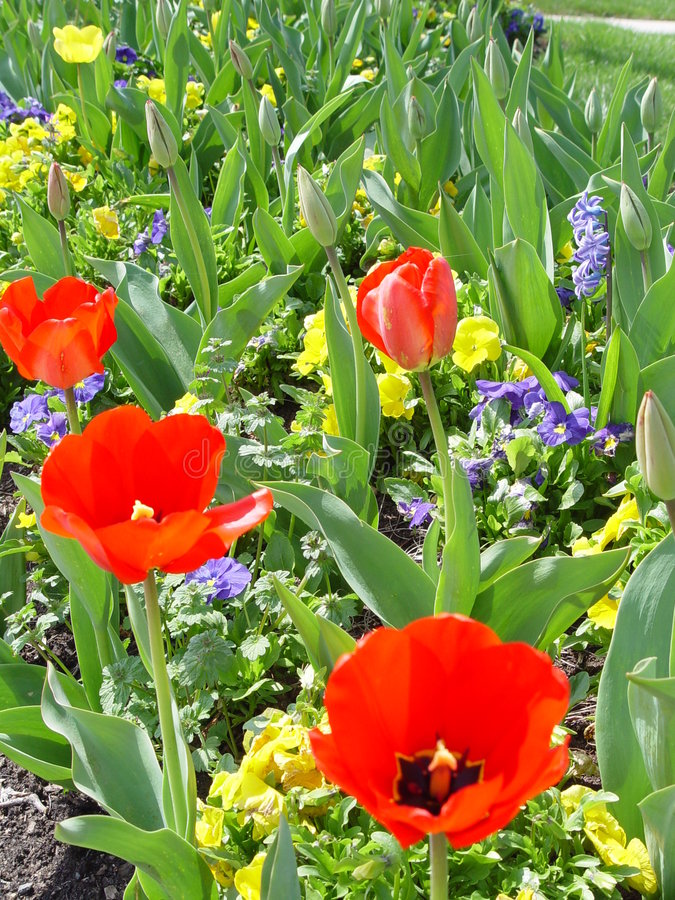 Free Spring Tulips Royalty Free Stock Images - 89269