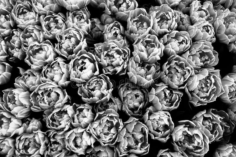 Spring tulips beginning to flourish seen from a top view. Photo perspective from above, in black and white stock photos