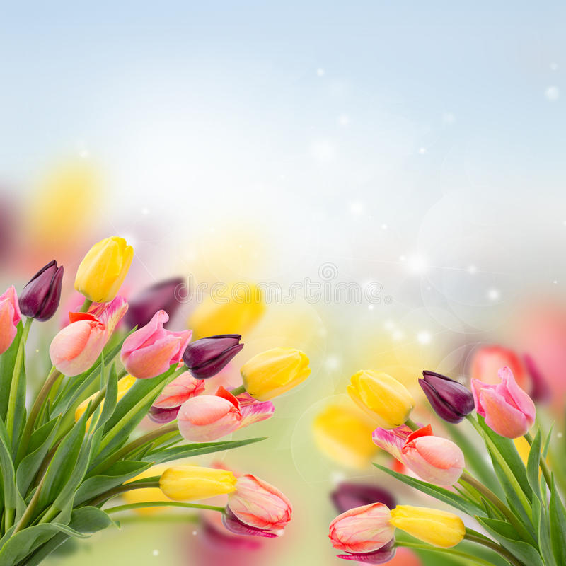 Spring tulips on blue. Spring multicolored tulips on blue bokeh background stock photos