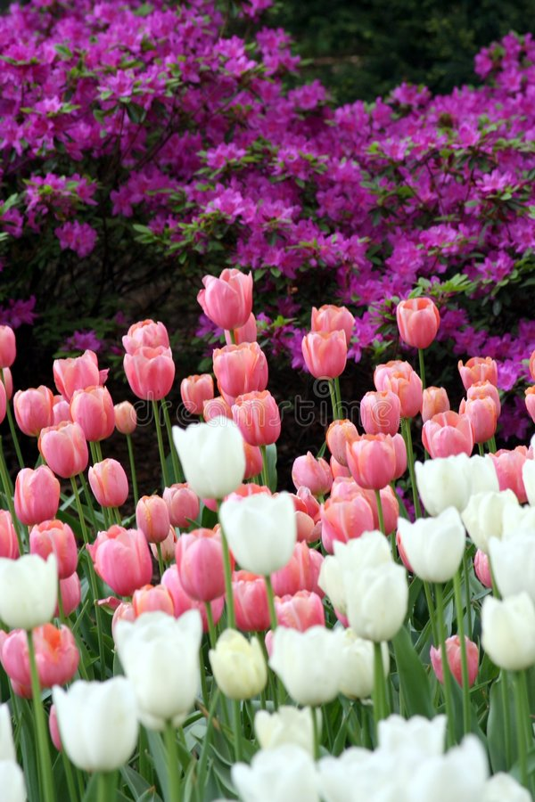 Spring Tulips in Central Park. Spring day in Central Park, New york City royalty free stock photo