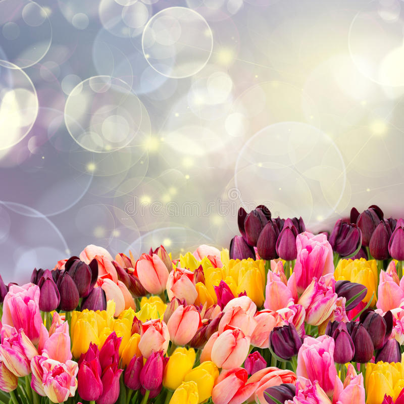 Spring tulips on colofful blue bokeh. Spring multicolored tulips on colorful blue bokeh background with lights royalty free stock photography
