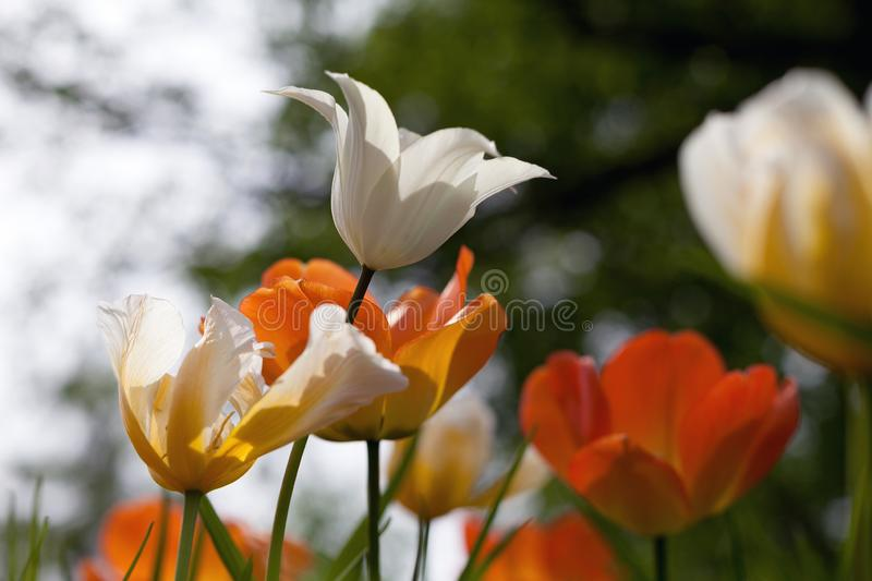 Spring tulips in the park stock images