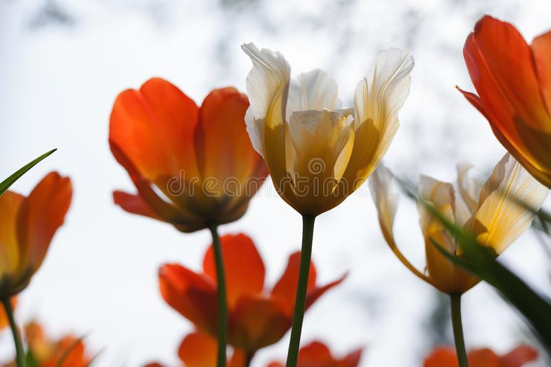 Spring tulips in the park stock photography