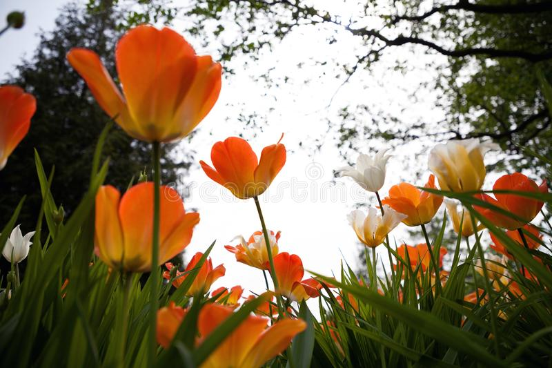 Spring tulips in the park royalty free stock images