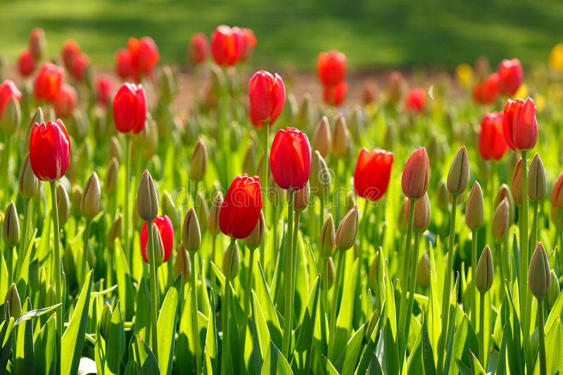 Spring tulips growing stock photography