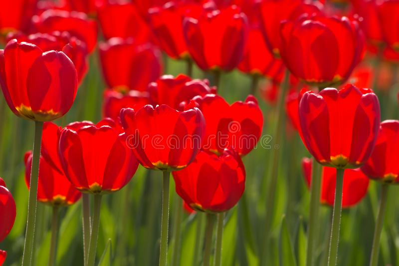 Spring tulips impregnated by the sun royalty free stock images