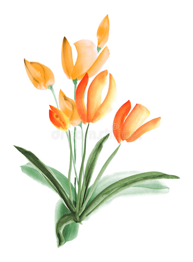 Spring tulips with orange flowers on a white background. . Watercolor stock photos