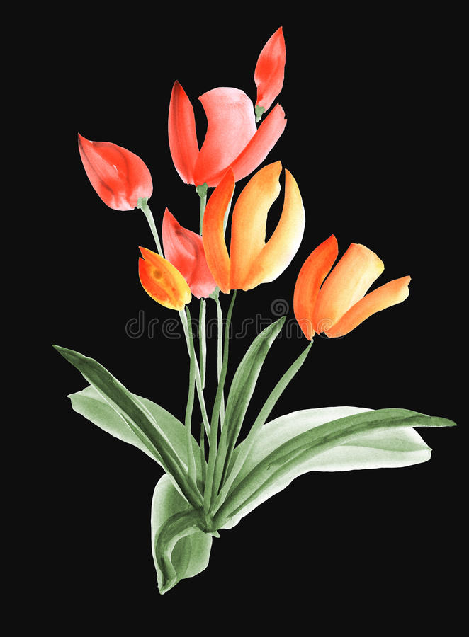 Spring tulips with orange and red flowers on the black background. . Watercolor stock image