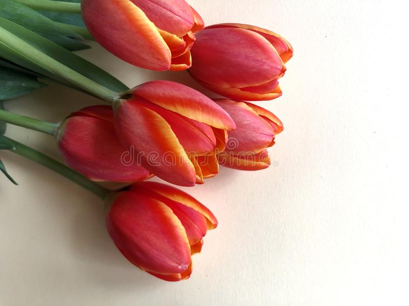Spring tulips. Orange and yellow tulips on a neutral background royalty free stock photography
