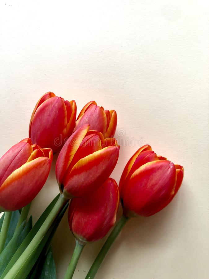 Spring tulips. Orange and yellow tulips on a neutral background royalty free stock images