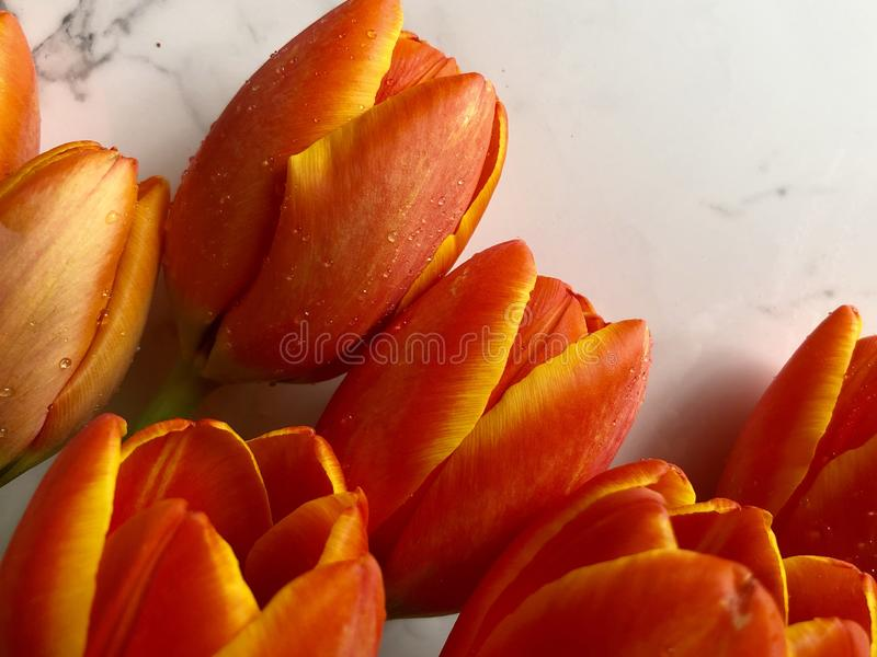 Spring tulips. Orange and yellow tulips on a neutral background royalty free stock image