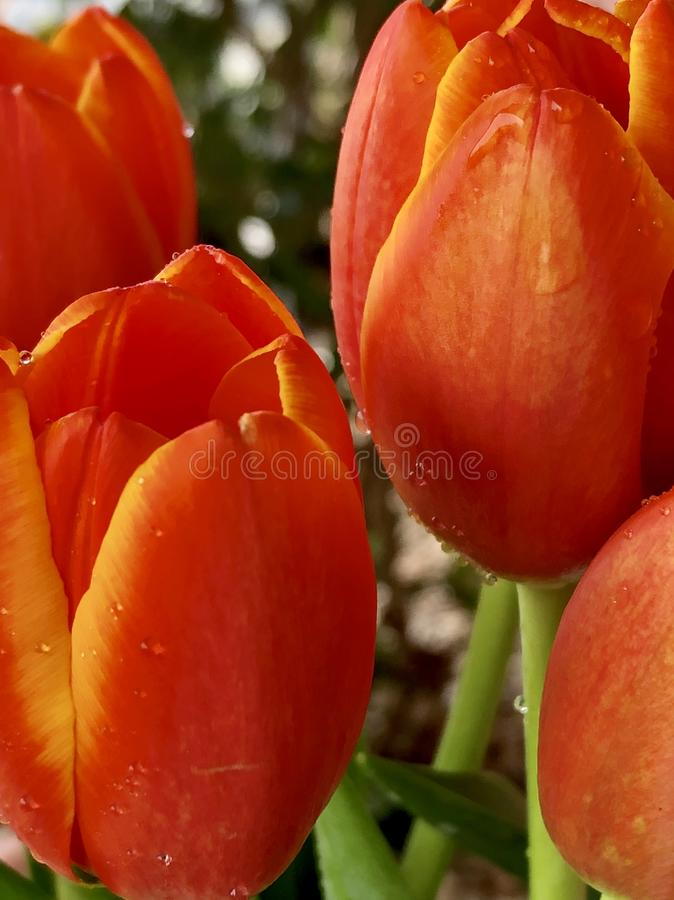 Spring tulips. Orange and yellow tulips on a neutral background royalty free stock photos