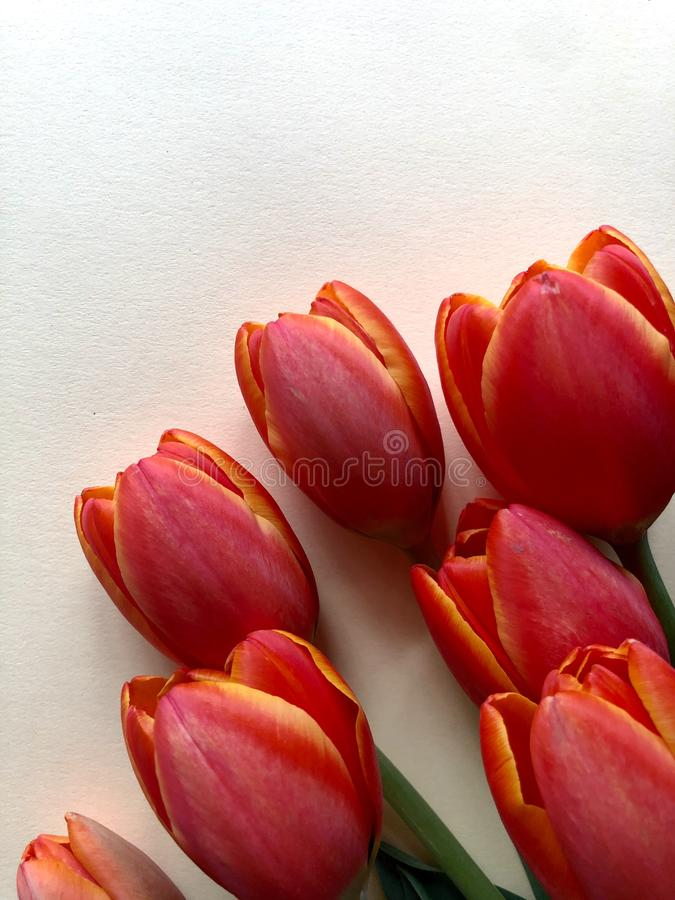 Spring tulips. Orange and yellow tulips on a neutral background stock photo