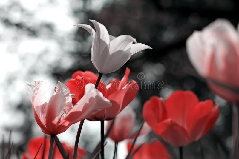 Spring tulips in the park royalty free stock image
