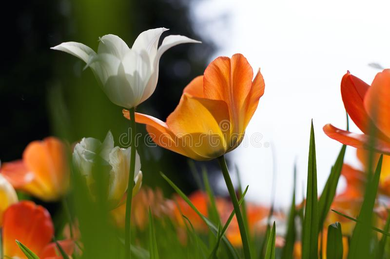 Spring tulips in the park stock photo