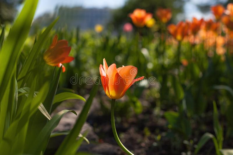 Spring tulips in the park royalty free stock photo